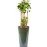 관엽식물 파비얀